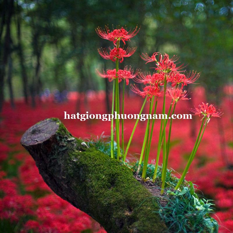 Hoa bi ngan