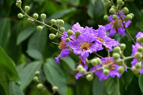 Kết quả hình ảnh cho hoa bằng lăng