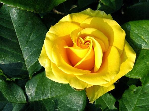 Kết quả hình ảnh cho hoa hồng màu vàng